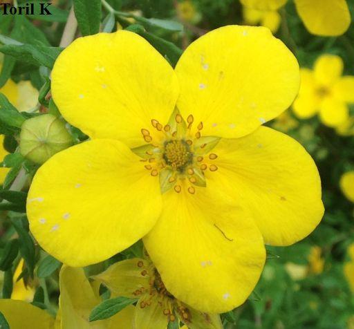 010816_gul_blomst2