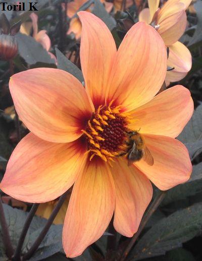 010816_nydelig_blomst_med_humle2