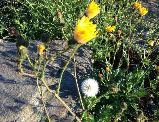 170816_blomster_fjaera_byneset7