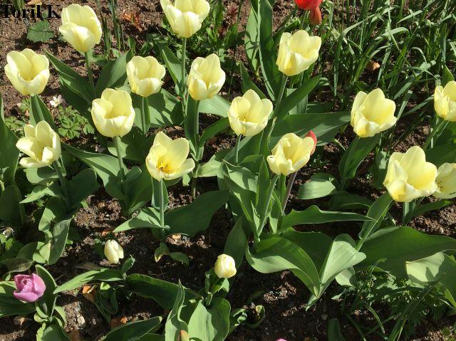 140517_tulipaner6