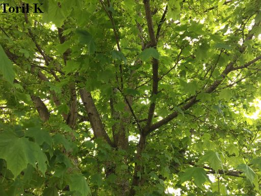 300517_groenne_blader_tre5